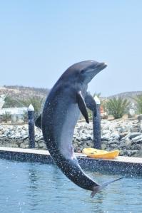 Dolphin jump in San Jose Cabo