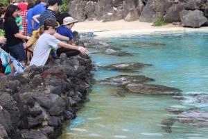 Oahu's Sea Life Park turtles