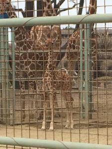 Baby giraffe at the San Francisco Zoo