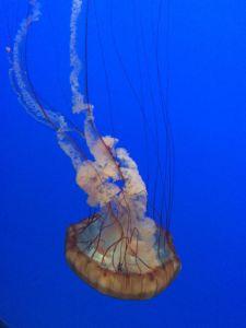 Jellyfish at the Monterey Bay Aquarium