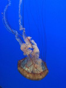 Jellyfish at the Monterey Bay Aquarium